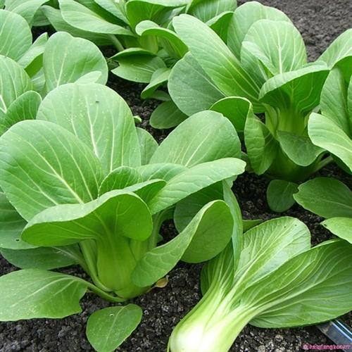 7 công dụng tuyệt vời của rau cải chíp