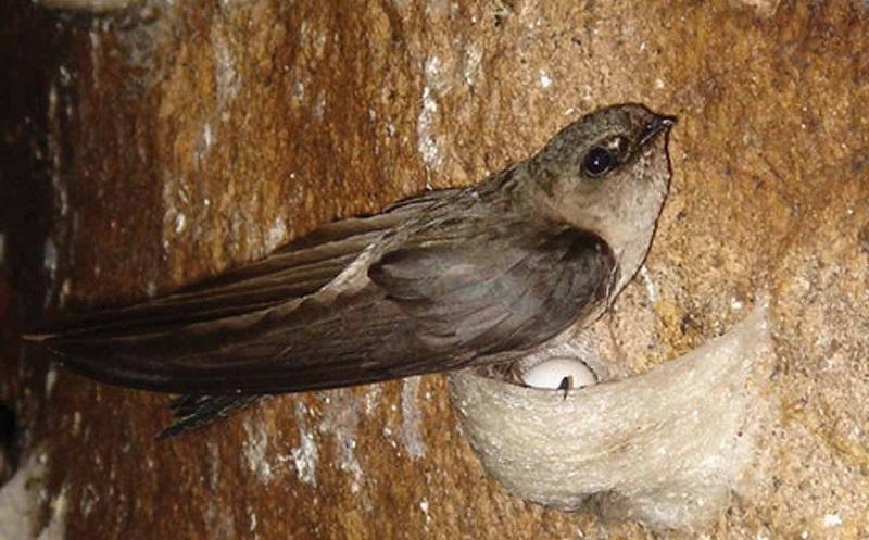 Kêu gọi ngừng ăn yến sào - sự thật nào về những chú chim yến?
