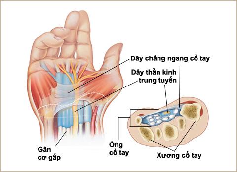 cấu tạo khớp cổ tay
